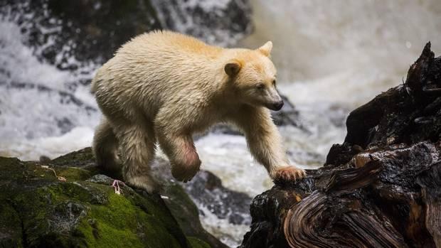 A Kermode bear, also known as a