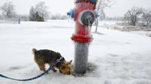 WHO LEFT THE SEAT UP?: Yorkshire terrier Louis sniffs at an ice-covered fire hydrant in Hamilton, Ont. (Peter Power/The Globe and Mail)