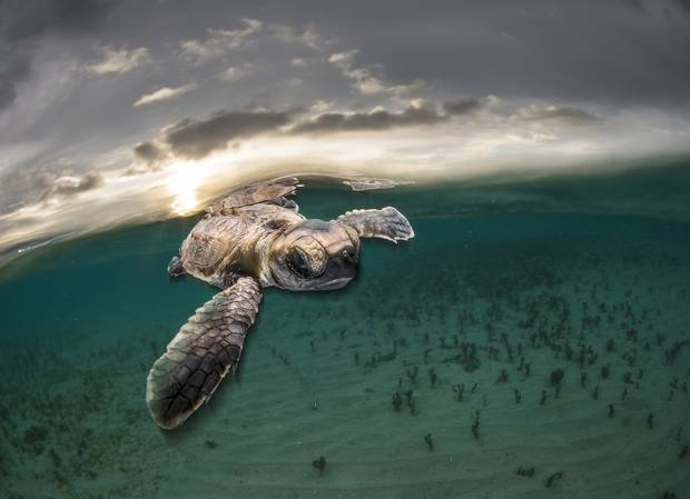Matty Smith, Australia, is recognized for his photo of a tiny hawksbill turtle backlit by the setting sun as it swims out to sea moments after hatching at Lissenung Island, Papua New Guinea.