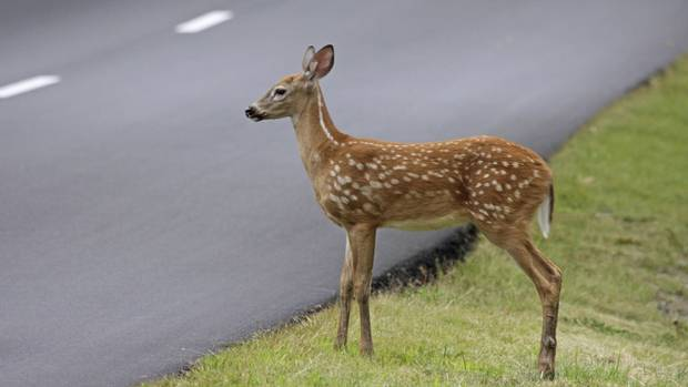 What should you do if you see an animal on the road?