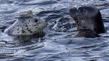Rehabilitated harbour seal pups equipped with satellite tags on their heads are released into the waters of Howe Sound at Porteau Cove, B.C. Wednesday, Nov. 20, 2013. (JONATHAN HAYWARD/THE CANADIAN PRESS)