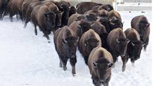Bound for Montana, plains bison are loaded onto a truck at Elk Island National Park in Alberta. (JASON FRANSON for The Globe and Mail)