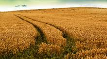 A wheat field is seen in this file photo. (iStockPhoto)