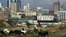 A goat herder watches over the herd with the high-rise buildings in the background in Kampala. (SAYYID AZIM/AP)