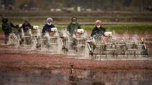 Migrant workers from Mexico and locals wade through the water at a Richmond, B.C., cranberry farm in this 2008 photo. (JOHN LEHMANN/JOHN LEHMANN/THE GLOBE AND MAIL)