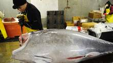 A worker cuts a bluefin tuna into pieces in order to provide it to New York's top sushi restaurants at a fish market in Jersey City, New Jersey, March 12, 2010. (Emmanuel Dunand/AFP/Getty Images/Emmanuel Dunand/AFP/Getty Images)