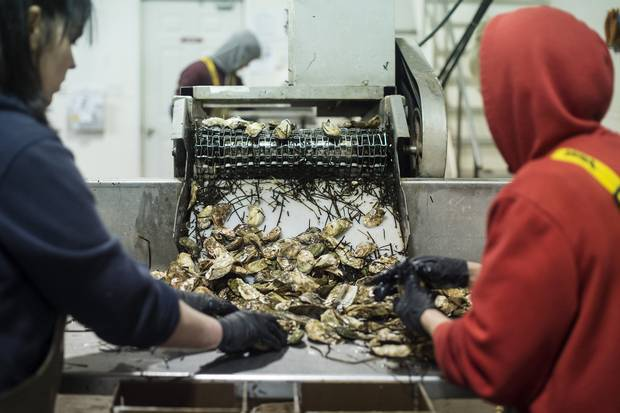 Employees clean and sort oysters at the processing plant at Future Seafood Inc. in Fernwood, PEI.