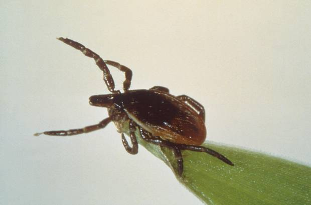 Ticks can attach to any part of the human body but are often found in hard-to-see areas such as the groin, armpits and scalp.