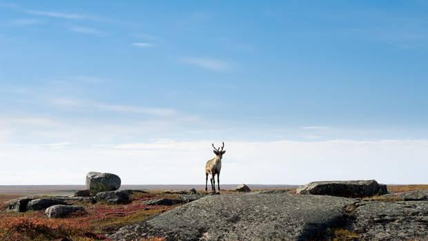 Caribou on the Arctic Tundra, Nunavut, Canada