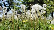 Various photos of dandelions growing along the Martin Goodman trail along Toronto's waterfront are photographed on May 15 2012. (Fred Lum/Fred Lum/The Globe and Mail)