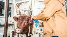 SAIT partnered with the Alberta Livestock and Meat Agency (ALMA) to develop Ultra-High Frequency RFID ear tags for animals that would be more accurate than current technology in this field. (Courtesy of SAIT)