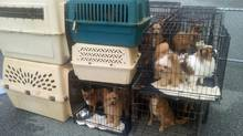 Some of the 38 small dogs left at an animal shelter in Richmond, B.C., overnight on Aug. 30, 2013. (Courtesy the City of Richmond)