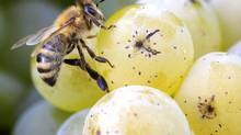A bee sits on a grape at a vineyard in Meilen, near Zurich, in a file photo. Swiss chemical giant Syngenta AG and Germany's Bayer AG, both top producers of pesticides blamed for a sharp fall in bee populations, are trying to forestall a European Union ban on the products. (ARND WIEGMANN/REUTERS)