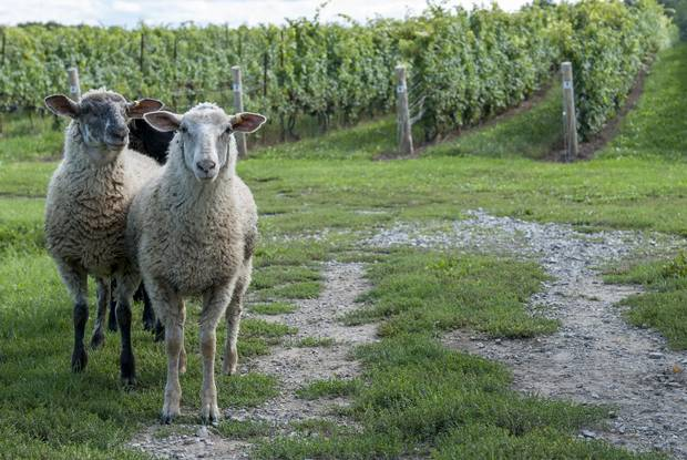 These sheep are the newest employees at Featherstone Winery, where they will help keep tend the vineyards by munching on weeds and lower leaves over the summer.