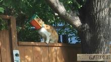 A cat with its head stuck in a small bird feeder is shown in a handout photo in Brandon, Man., on July 23, 2014. (COLLEEN GAREAU/THE CANADIAN PRESS)