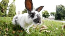 VICTORIA, BC: SEPTEMBER 2, 2009 - One of the many cute rabbits on the lawn at the University of Victoria Wednesday. The University of Victoria has launched a public awareness campaign on the campus' feral rabbits and are developing a long-term management plan for the animals, which will include trapping, sterilizing, and adopting some of the rabbits. (Photo by Deddeda Stemler for the Globe and Mail) (Deddeda Stemler for The Globe and Mail)
