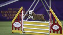 Emma, a mixed-breed rescue dog, clears the panel jump during the Masters Agility Championship at Westminster staged at Pier 94, Saturday, Feb. 8, 2014, in New York. The competition marks the first time mixed-breed dogs have appeared at Westminster. (John Minchillo/AP)