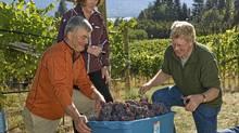 Steve Lornie, Christine Coletta and David Scholefield bring in Pinot Gris for the 2010 Haywire wine, an Okanagan Crush Pad brand. (Stuart Bish)
