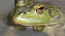 An American bullfrog floats in a stream in Sidney, Ohio, on May 3, 2012. (Luke Gronneberg/CP)