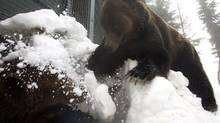 Grizzly bear Grinder, right, knocks snow onto playmate Coola as he tries to dig out of their den after five months of hibernation at Grouse Mountain ski resort's wildlife refuge in North Vancouver, B.C. The two male bears were found orphaned in different areas of British Columbia in 2001. (Darryl Dyck/The Canadian Press)