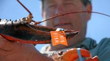 Paul Logan, a lobster fisherman from Caribou, N.S., holds a lobster with a Thisfish tag.