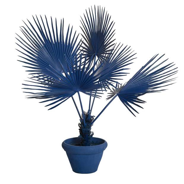 Potted fan palms by Pols Potten.