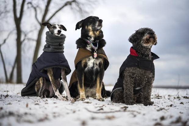 From left: Ruby, BooBoo and Lex are all dressed up in cold-weather gear while out for a walk at the Cherry Beach dog park in Toronto on Jan. 3, 2018.