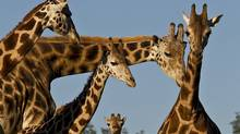 A four-week-old giraffe (C) is surrounded by other Uganda giraffes, which sniffed the youngest member of the herd in the East Africa exhibit at the San Diego Zoo Safari Park. Animal care staff released the calf, born on Dec. 24, 2010, into the field for the first time. While cautious at first, Jioni, which means eve in Swahili, was soon running over the new terrain. (KEN BOHN/KEN BOHN/AFP/Getty Images)