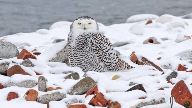 A snowy owl is seen at the Leslie Spit in Toronto. (MIKE QUIGG)