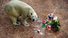 ARGHH, BRAIN FREEZE: Inuka the polar bear celebrates his 23rd birthday at the Singapore Zoo with an ice-block cake made of salmon, apples, berries and cream. (Wong Maye-E/Associated Press)