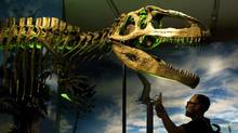A man looks at the prehistoric dinosaur called Giganotosaurus as they take in the new exhibit called Ultimate Dinosaurs: Giants from Gondwana at the Royal Ontario Museum in Toronto on Wednesday, June 20, 2012. (Nathan Denette/THE CANADIAN PRESS)