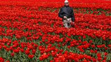 A worker searches in his tulip fields just outside the northern Dutch town of Noordwijkerhout. (JERRY LAMPEN/REUTERS)