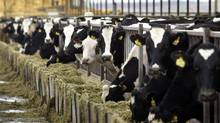 Holstein dairy cows feed at a farm in central Washington state. Tuesday's tax agreement extends farm subsidy programs but, unless the measure is passed by the House, the dairy subsidies will revert to 1949 levels. (JEFF GREEN/REUTERS)