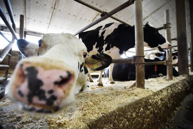 Dairy cows are shown in a barn on a farm in Eastern Ontario on Wednesday, April 19, 2017.