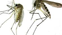 This undated photo provided by the Northwest Mosquito Abatement District shows a Culex pipiens, left, the primary mosquito that can transmit West Nile virus to humans, birds and other animals. It is produced from stagnant water. The bite of this mosquito is very gentle and usually unnoticed by people. At right is an Aedes vexans, primarily a nuisance mosquito produced from freshwater. It is a very aggressive biting mosquito but not an important transmitter of disease. (Courtesy of the Northwestern Mosquito Abatement District/AP)