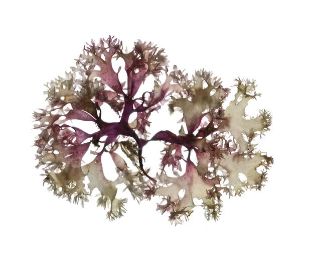 **Must use scientific name also** Irish moss (Chondrus crispus) Red seaweed species scanned by Josie Iselin, author of An Ocean Garden: The Secret Life of Seaweed. Photo credit: josieiselin.com