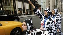 People dressed in cow outfits try to hail a taxi on 5th Avenue in New York 12 May 2005 during a promotional stunt to introduce a new product by Coffee-Mate. (TIMOTHY A. CLARY)
