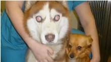 Isaac is a blind Siberian husky and Isabella, a terrier mix, has taken on the role of his protector as his Seeing Eye dog.