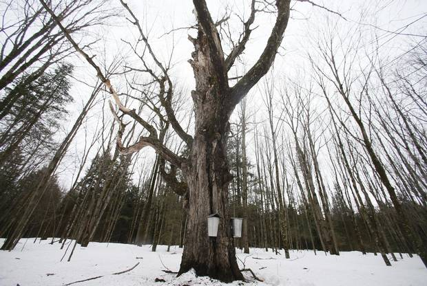 Tapped trees at Gereli Farm in Shefford, Que., in April 2014.