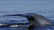 A Blue whale dives off the Atlantic coast. (Stephanie Carole Pieddesaux/Canadian Parks and Wilderness Society)