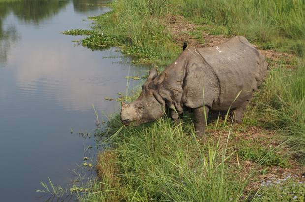 A greater one-horned rhino grazes in the buffer zone of Chitwan National Park.