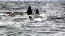 A group of 14 to 18 orcas killed and ate a minke whale near Witless Bay, Newfoundland. The Atlantic Whales group has documented this particular group of orcas hunting around the coast of Newfoundland and Labrador since 1999. Orcas seem to enjoy the massive tongues of baleen whales, such as the minke on the left of this photo. (David Snow, Atlantic Whales/David Snow, Atlantic Whales)