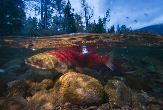 Warming water threatens to wipe out B.C.'s salmon stock.