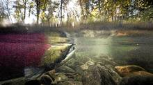 A male sockeye salmon in a stream off the Adams River at Roderick Haig-Brown Provincial Park north of Chase, B.C. (JOHN LEHMANN/The Globe and Mail)