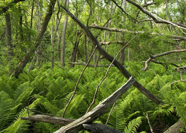 A trail in Rouge Park is lost in a sea of ferns.