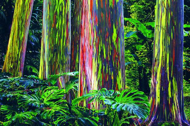 Rainbow Eucalyptus Trees in Hawaii make for a particularly vivid view of a 'painted forest'.