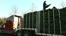 Nolan Hartlin looks for a place to squeeze in the last Christmas tree onto a tractor trailer flatbed at the Higgins Family Christmas Tree lot near Middle Musquodoboit, N.S. The trees will be shipped to the family retail shop in Massachusettes. (PAUL DARROW For The Globe and Mail)