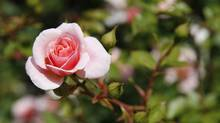 Singing the praises of a simple garden rose (Thinkstock)