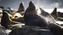 Sea lions near Sonora Island, B.C., October 12, 2011. (John Lehmann/The Globe and Mail/John Lehmann/The Globe and Mail)
