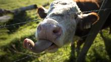 The labelling program has led to a sharp reduction in U.S. imports of Canadian pigs and cattle, because it raised costs for U.S. packers by forcing them to segregate those animals. (John Lehmann/The Globe and Mail)